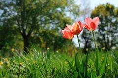 Trio (Sergio '75) Tags: tulips flowers nature natura natur naturaleza naturallight natural naturephotograph naturephotography light grass green bokeh park pink spring canon canoneos70d canonef2470mmf4lisusm sergio sergio75
