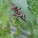 IMG_8931 Himacerus mirmicoides (Nabidae)