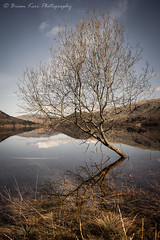 Thirlmere Tree (.Brian Kerr Photography.) Tags: lakedistrict lakes landscapephotography landscape photography cumbria thirlmere tree reflections blencathra saddleback photo outdoorphotography outdoor nature naturallandscape mountains availablelight colour blue skies clouds grass water