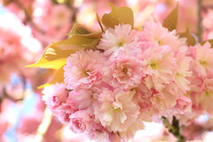 Colourful (joeydassen) Tags: colourful spring closeup macro tree pink flowers sunday nature 18135mm 750d canon blossom flower