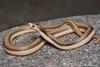 culebra picuda (Phimophis vittatus) (Budi Rebollo Fernandez) Tags: argentina cordoba nikon nature america latinoamérica pasionporlanaturaleza wildnature seprientes serpiente snake vibora ofidio culebra