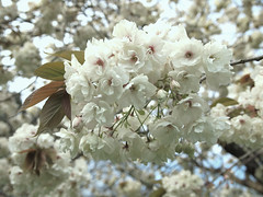 Spring bloom (ekaterina alexander) Tags: spring bloom cherry tree blossom flower flowers ekaterina england alexander sussex nature photography pictures petals branches