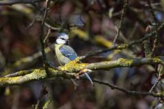 mésange bleue -  Blue tit - Blaumeise (oudjat45) Tags: mésangebleuebluetitblaumeise branche oiseau bird vogel jaune yellow gelb nature