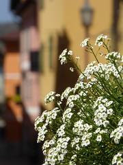 buon 25 Aprile ! (fotomie2009) Tags: alyssum alisso white strada fiori calizzano liguria italy italia flower fiore flora spontaneous spontaneo wild nature