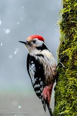 pico mediano macho (barragan1941) Tags: aves cremenes fauna paisajes picapinosmacho