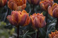 Primaveral (seguicollar) Tags: virginiaseguí naranja planta vegetal vegetación tulipán pétalos oranges flor flores flowers nikond7200 verde hojas leaf leaves