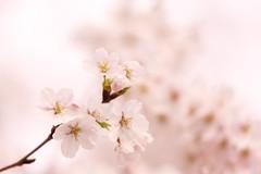 Sakura cherry (Teruhide Tomori) Tags: sakura cherry someiyoshino tree japan japon kyoto spring flower 京都 日本 桜 春 花 四季 ソメイヨシノ 染井吉野 macro blossom bloom