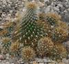 conjunto de ferocactus (carlosjunquero) Tags: ferocactus cactus botanic