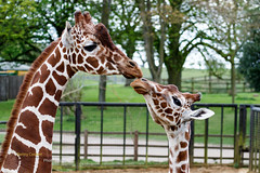 Giraffe Kiss (Bambi_72) Tags: giraffacamelopardalisreticulata giraffereticulated mamals whipsnadezoo wildlife