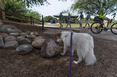 What do dogs want (utski7) Tags: studio26 whatdodogswant sniff inspect walk park rock plant arizona