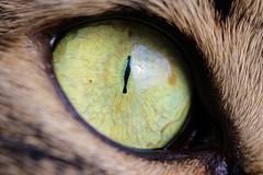 Fred (Sabina.Ioana) Tags: cateye eye green greeneye cat canon100d fred
