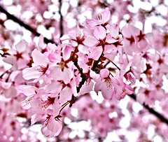 Cherry Blossoms, Edwards Gardens, Toronto, ON (Snuffy) Tags: flowers cherryblossoms edwardsgardens torontobotanicalgarden donmills northyork toronto ontario canada spring seasons