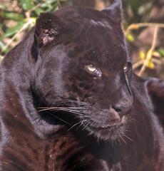 jaguar Mowgli artis BB2A8199 (j.a.kok) Tags: mowgli jaguar pantheraonca southamerica zuidamerika blackjaguar artis kat cat predator roofdier zoogdier animal dier