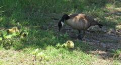 Canada Geese - Madrona Marsh (weezerbee9) Tags: