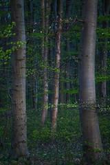 Fresh green (Petra Runge) Tags: frühling natur waldundbäume grün laub frühlingserwachen germany deutschland spring nature forest wood green dämmerung dunkel landscape landschaft