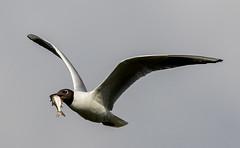 Daw End Branch Canal-101.jpg (andy_click) Tags: black headed gull gullfeeding blackheadedgull