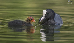 "Coot Feeding Chick  ""Grubs Up"" (Mick Erwin) Tags: coot chick feding insects nikon afs 600mm f4e fl ed vr lens d810 mick erwin stoke trent staffordshire wildlife nature"