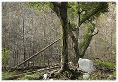 ANF_0093 (Thomas Willard) Tags: california foothills mountains trees oak alder coast white live chaparral