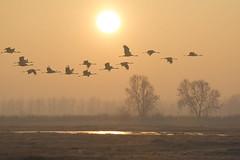 Common Cranes (Artur Rydzewski) Tags: naturephotography naturephotos photos free freephotos royaltyfree flower wallpaper image picture bird birds ptaki ptak commoncrane crane cranes grusgrus grus sunet sunrise sun sunlight rydzewski