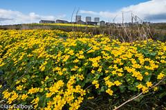 Marsh Marigold 2 (Ian R T) Tags: marshmarigold kingcup easttullosburn stfittickspark torry aberdeen scotland