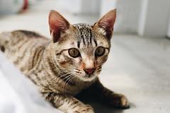 貓 (CLin4086) Tags: canon clin4086 cat taiwan travel sigma animal yilan 1750mm f28 台灣 宜蘭 貓 動物