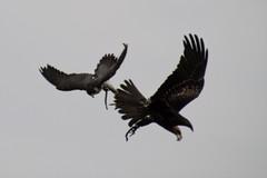 Luftkampf (reipa59) Tags: flugkünstler falke milane greifvogel potzberg tierpark rheinlandpfalz