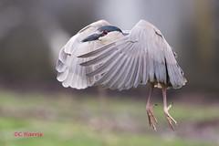 Black-crowned Night Heron- Bihoreau gris (skivoile) Tags: blackcrowned night heron bihoreau gris the take off le décollage