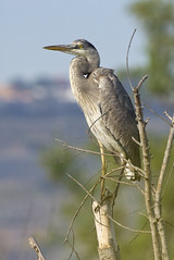 Great Blue Heron (christopheradler) Tags: california great blue heron ardea herodias