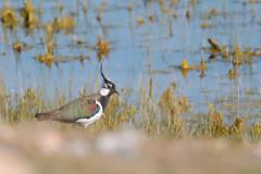 Vanneau huppé (philph0t0) Tags: vanneau huppé vanellus northern lapwing vanneauhuppé vanellusvanellus northernlapwing bird oiseau