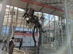 tyrannosaurus 13