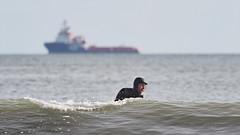 M2237716 E-M1ii 420mm iso200 f5.6 1_800s (Mel Stephens) Tags: 20170423 201704 2017 q2 aberdeen coast coastal surfer surfers surfing people olympus omd em1ii ii m43 microfourthirds mirrorless mzuiko 300mm pro mc14 sea ocean scotland uk sport sports waves widescreen