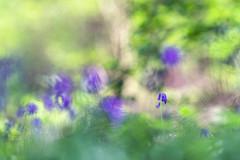 L'elfe bleue (Thomas Vanderheyden) Tags: bokeh colors couleur fleur fleursauvage flora flower france fujifilm hyacinthoidesnonscripta jacinthesauvage light lumiere macro nature picardie proxi samyang135mm thomasvanderheyden vegetal xt1