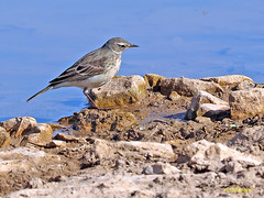 Bisbita alpino (Anthus spinoletta) (15) (eb3alfmiguel) Tags: aves pajáros insectívoros passeriformes motacillidae bisbita alpino
