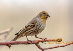 Common house finch male (My Kona Girl) Tags: commonhousefinch colorado coloradowildlife finch bird canon1dx canonef500mmf4lisusm