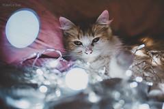 MINI <3 (floordiaz) Tags: cat gatos gato kitten pink luces animals pet pets animales animal d3300 nikon 50mm 50mm18