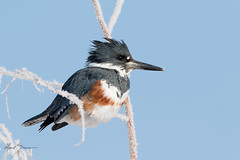 Belted Kingfisher ♀ (m_Summers) Tags: hen kingfisher utah wild wildlife winter hoarfrost nature bird frost outdoors female marksummers megacerylealcyon beltedkingfisher