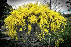 An Old Broom Sweeps ... (Feathering the Nest) Tags: broom shrub bush yellow bright beautiful