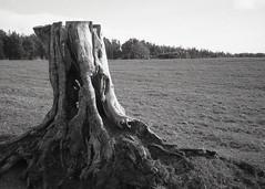 stumped (OhDark30) Tags: olympus 35rc 35 rc film 35mm monochrome bw blackandwhite bwfp fomapan 200 rodinal stump tree field