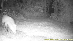 TrailCam216 (ohange2008) Tags: foxes badger trailcam essexgarden peanuts dogfood april