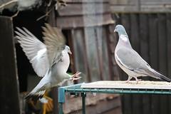 21 April 2017 (49) (AJ Yakstrangler) Tags: yakstrangler pigeon pigeons