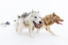 Go, go, go! (Markus Trienke) Tags: grönland kulusuk gl dog dogs winter snow ice cold sledge inuit action transportation greenland pirhuk expedition arctic greatphotographers