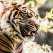 Young and Bold (Paul E.M.) Tags: tiger sumatran endangered sdzoosafaripark stripes cat feline