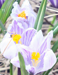 Crocus melody (gráce) Tags: helios442 canon canoneos550d garden flower flora flowering crocus plant spring nature macro bokeh bug grass