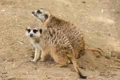 """ Can you dig it ?! "" (ToddLahman) Tags: meerkat sandiegozoosafaripark safaripark canon7dmkii canon canon100400 outdoors closeup dig cute escondido dirt hole"