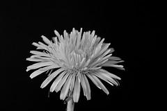 Makro (markus1074) Tags: makro dandelion blowball strawberry
