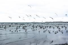 Sea gel at Constanta, Romania (アキラChacky) Tags: seagel flying sea ocean beach birds nature landscape romania constansta europe canon canon600d camera contrast color colorful city cloud water ocena horizontal horizon