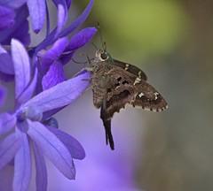 Long-tailed Skipper (ACEZandEIGHTZ) Tags: moth skipper longtailed urbanus proteus hesperiidae queenswreath purple flowers nature nikon d3200 coth5 coth sunrays5 ngc saariysqualitypictures