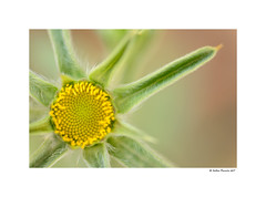 Shining Star (g.femenias) Tags: flower macro nature naturallight approximation fontdenorenga petra mallorca