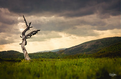 Fallen Angel (cristiansamoilescu) Tags: tree landscape lonely old sculpture fallen angel romanias landscapes color colour nikon d7200 sigma 1750