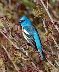 Lazuli bunting (Doug Greenberg) Tags: bunting beautifulbird bird lazulibuntingmale lazulibunting
